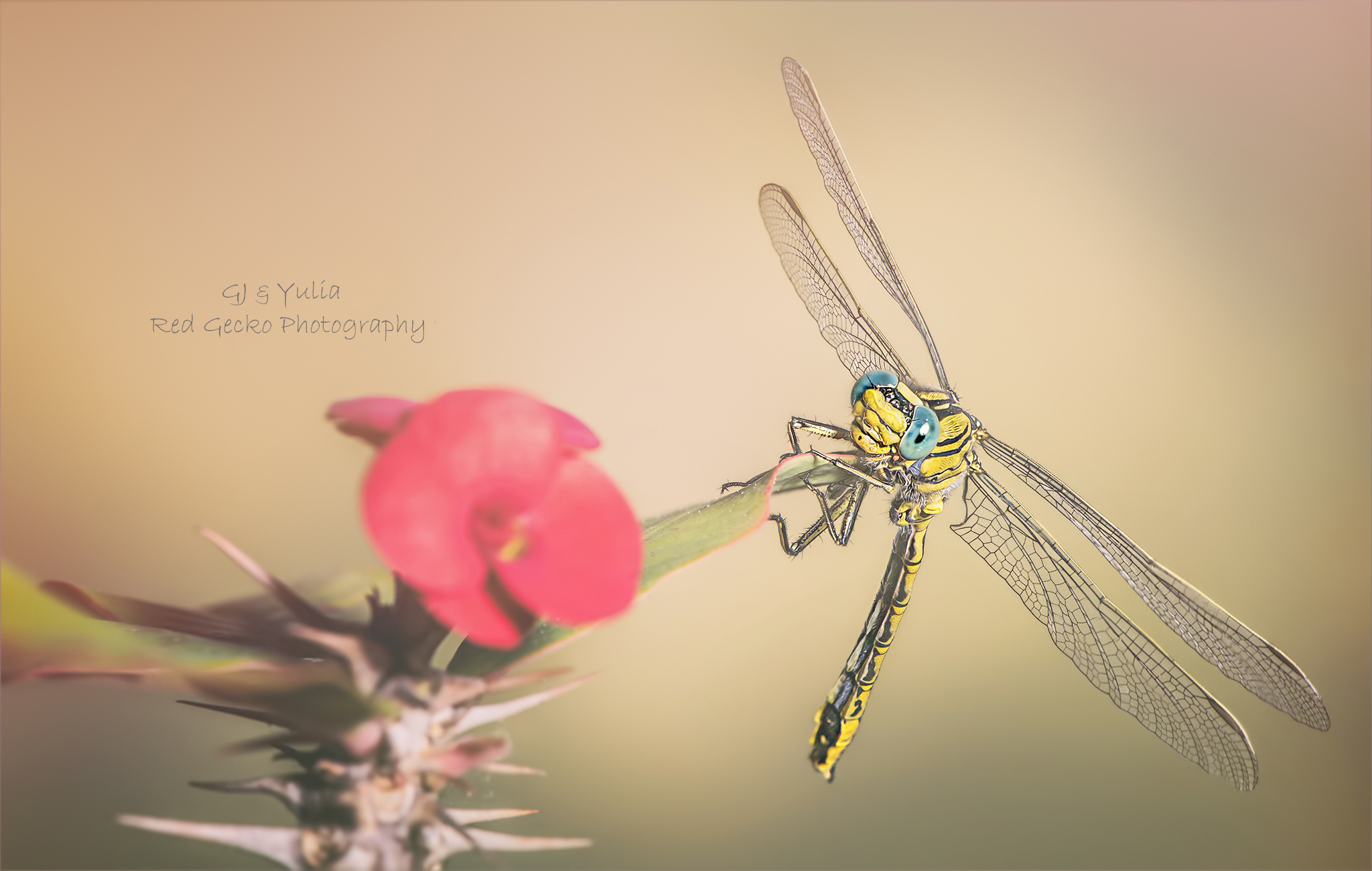 Yellow Clubtail