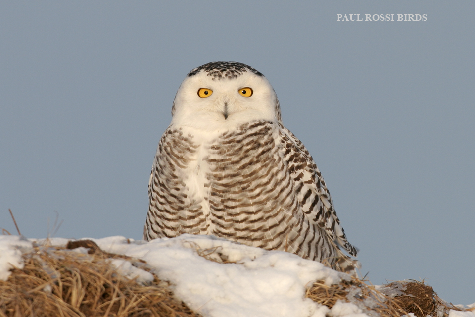Snowy Owl Hill Top