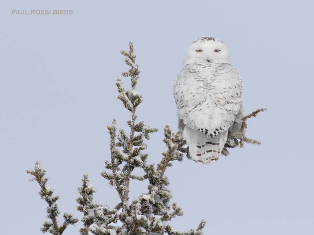 Snowy Owl on Snowy Perch