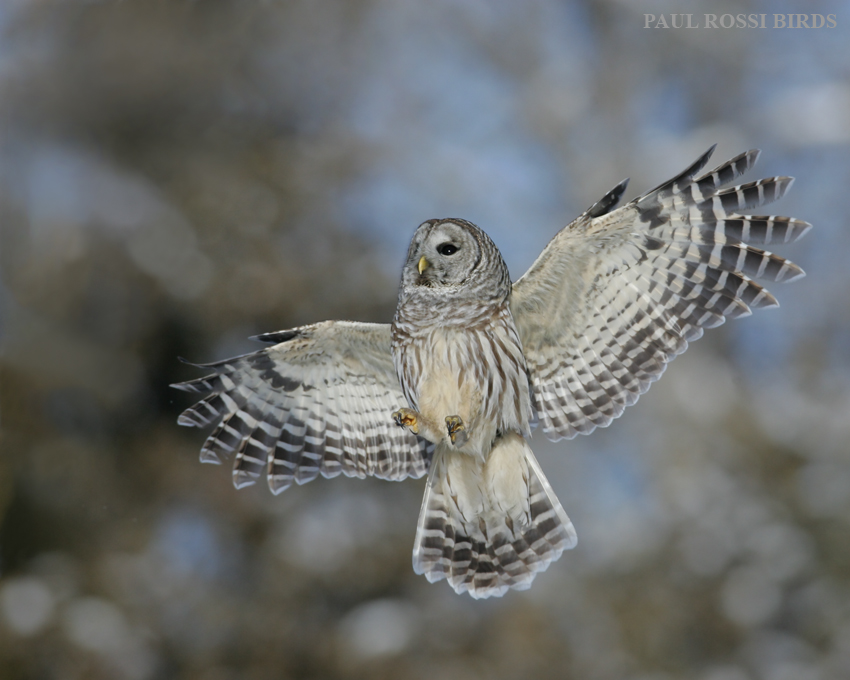 Barred Owl Rising
