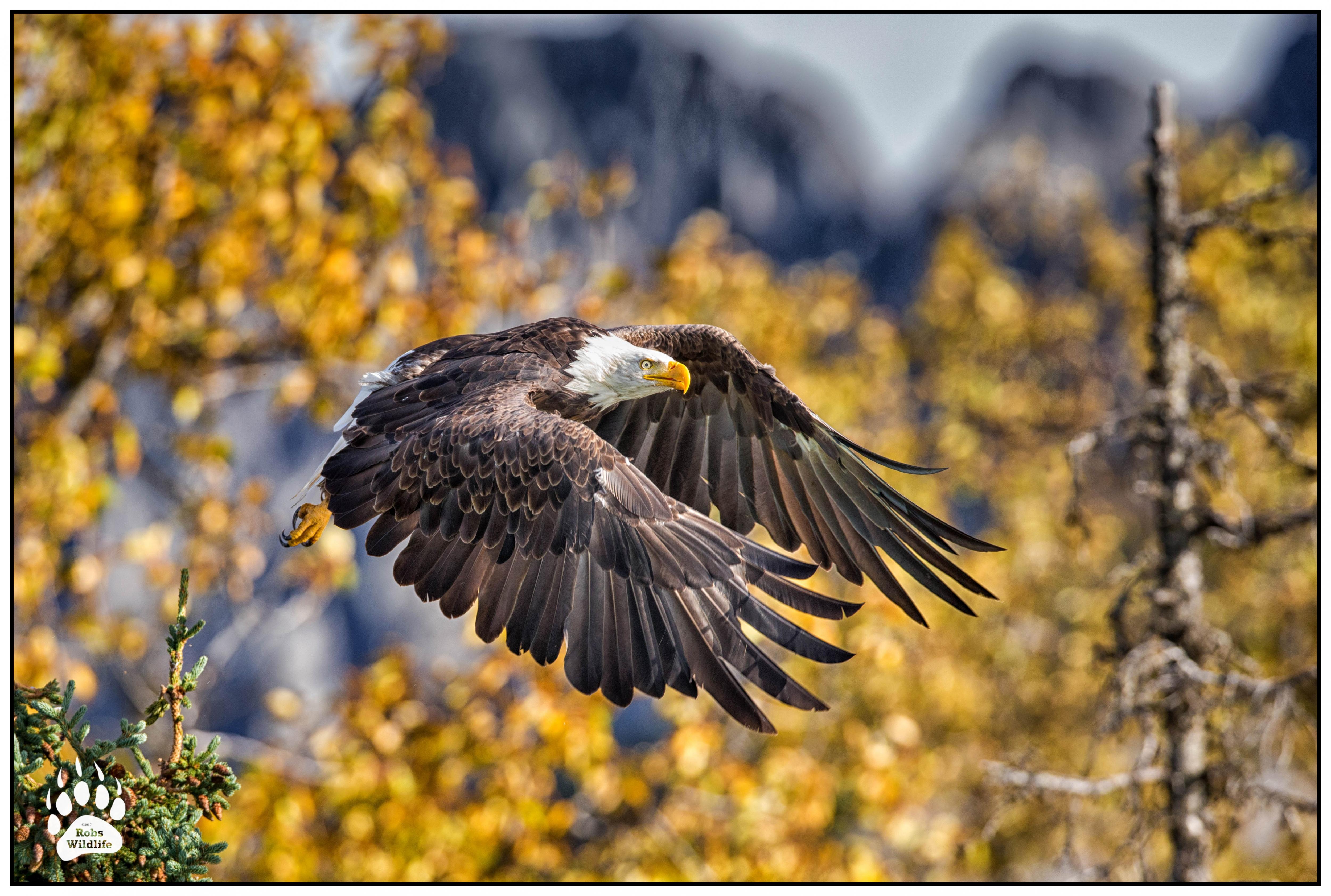 American Bald Eagle 092114-4492-BW