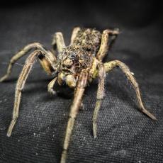 Mamma Wolf Spider