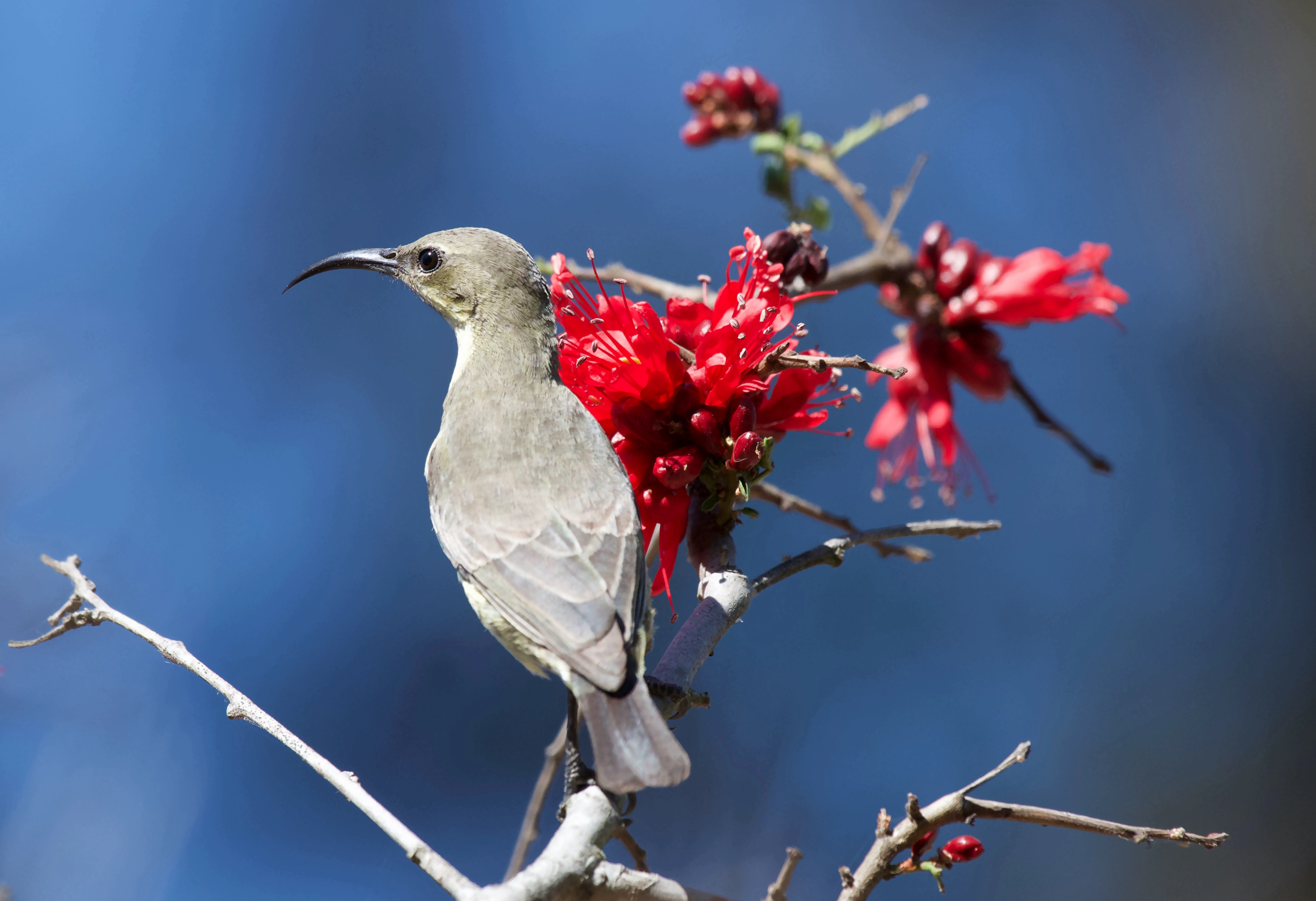 Female Marico Sunbird