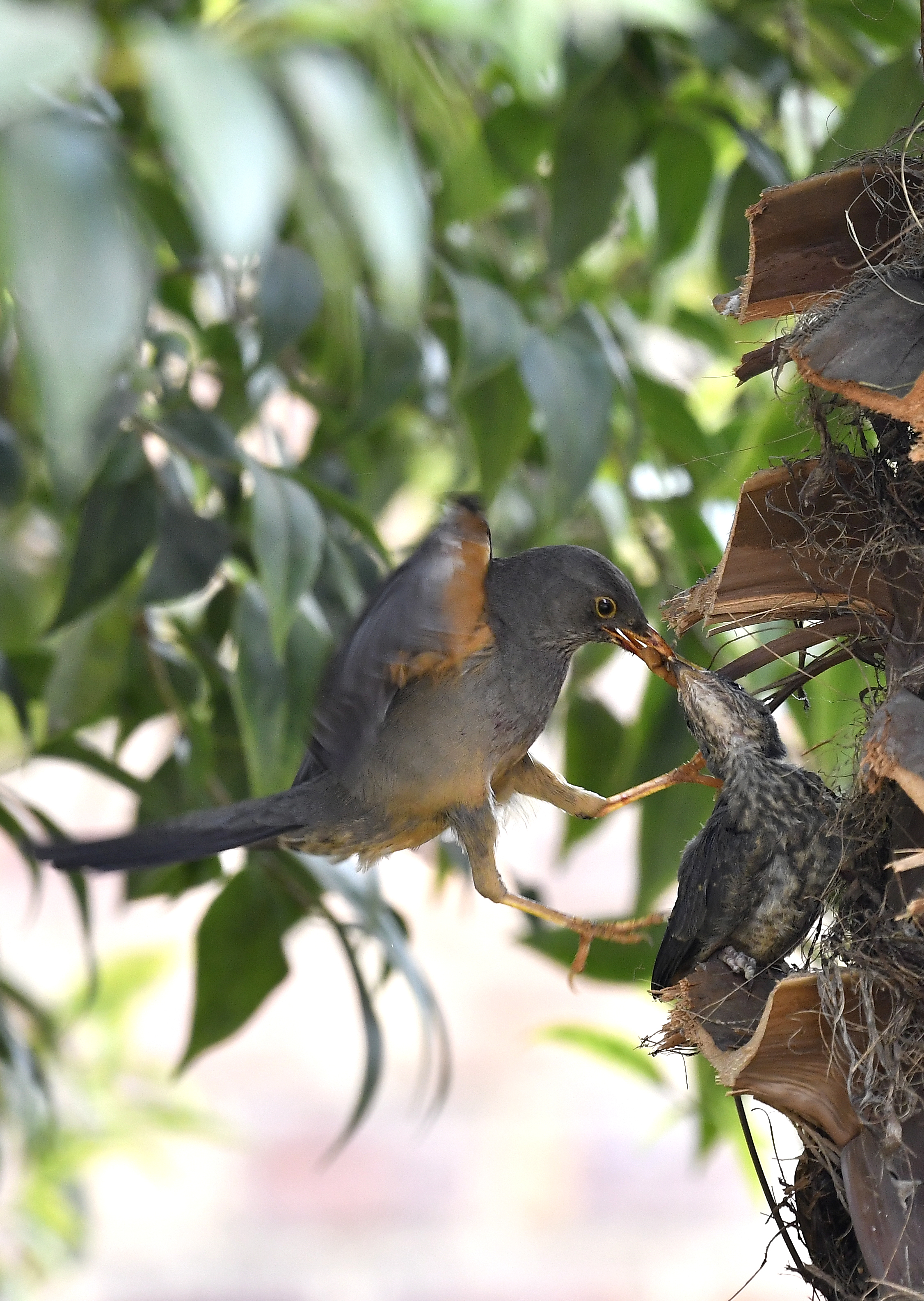 Adult and baby Olive Thrush