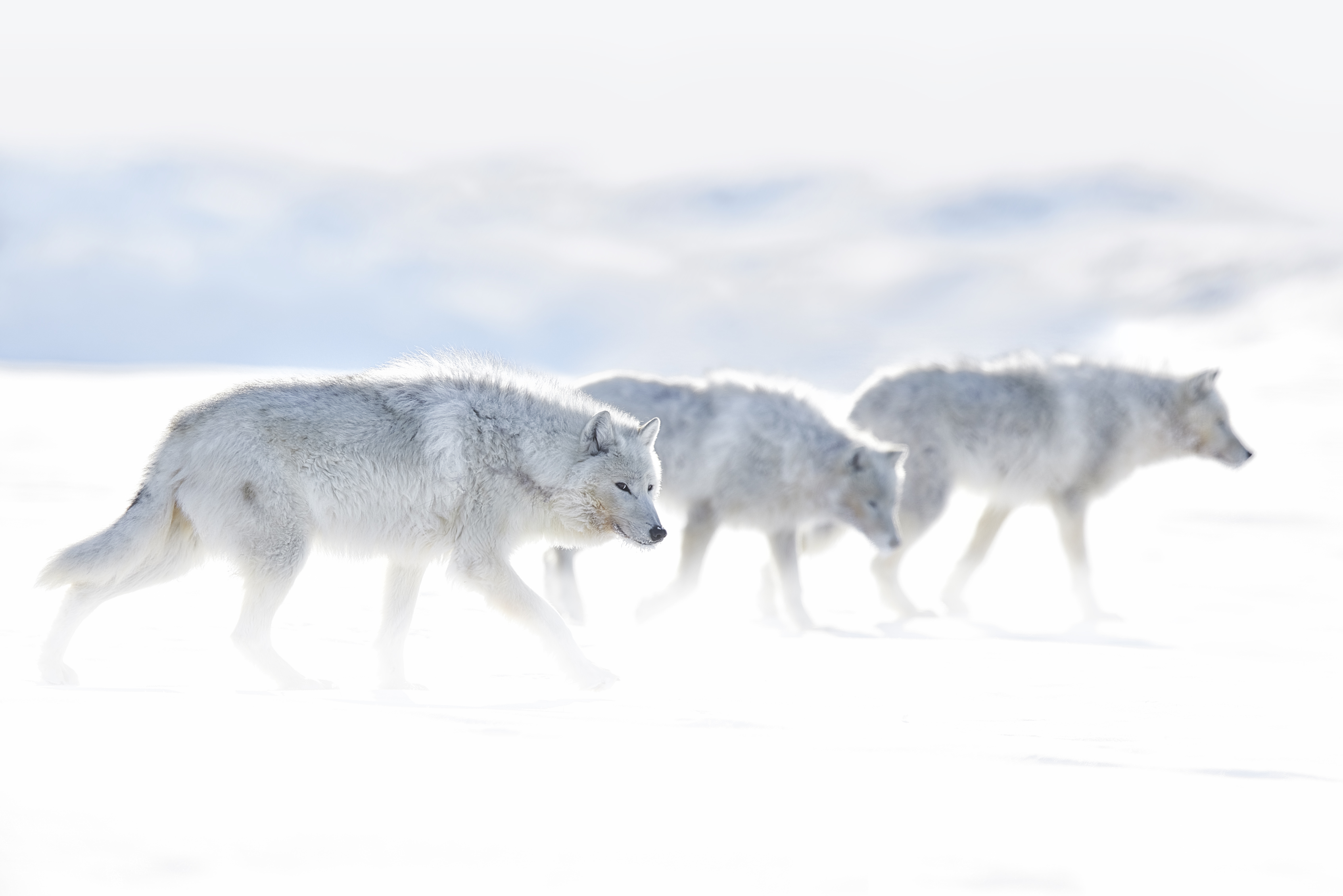ARCTIC WOLF IMAGES | ACTION SPEAKS LOUDER THAN WORDS by Ejaz Khan