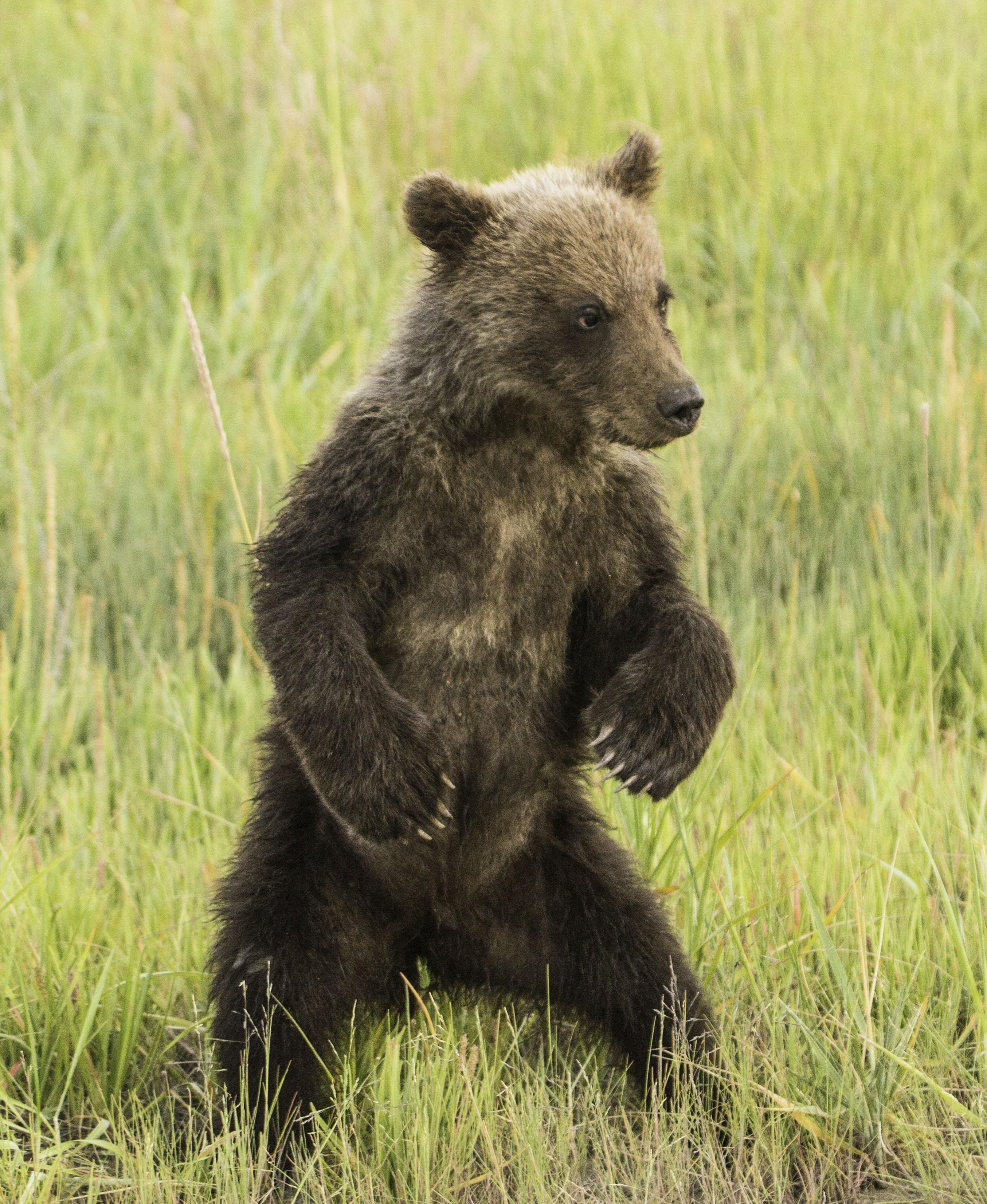 Grizzly Bear Cub in Tall Grass Lake Clark National Park Alaska