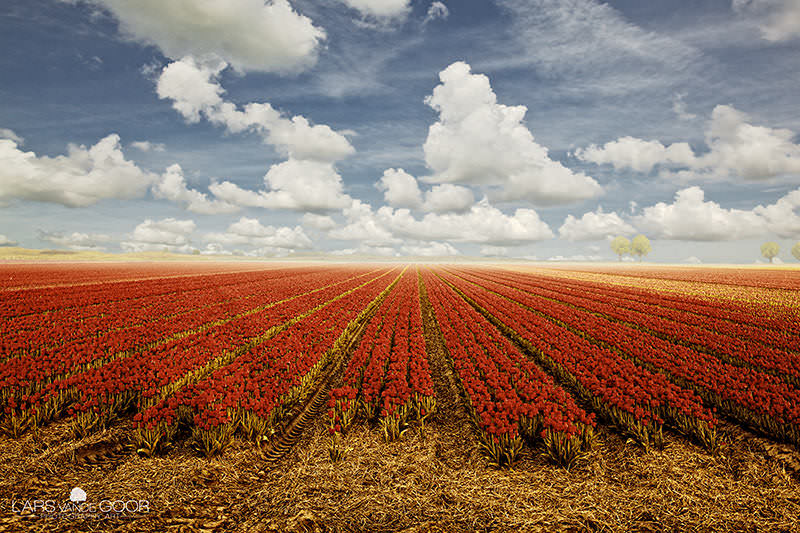 Tulips & Clouds image