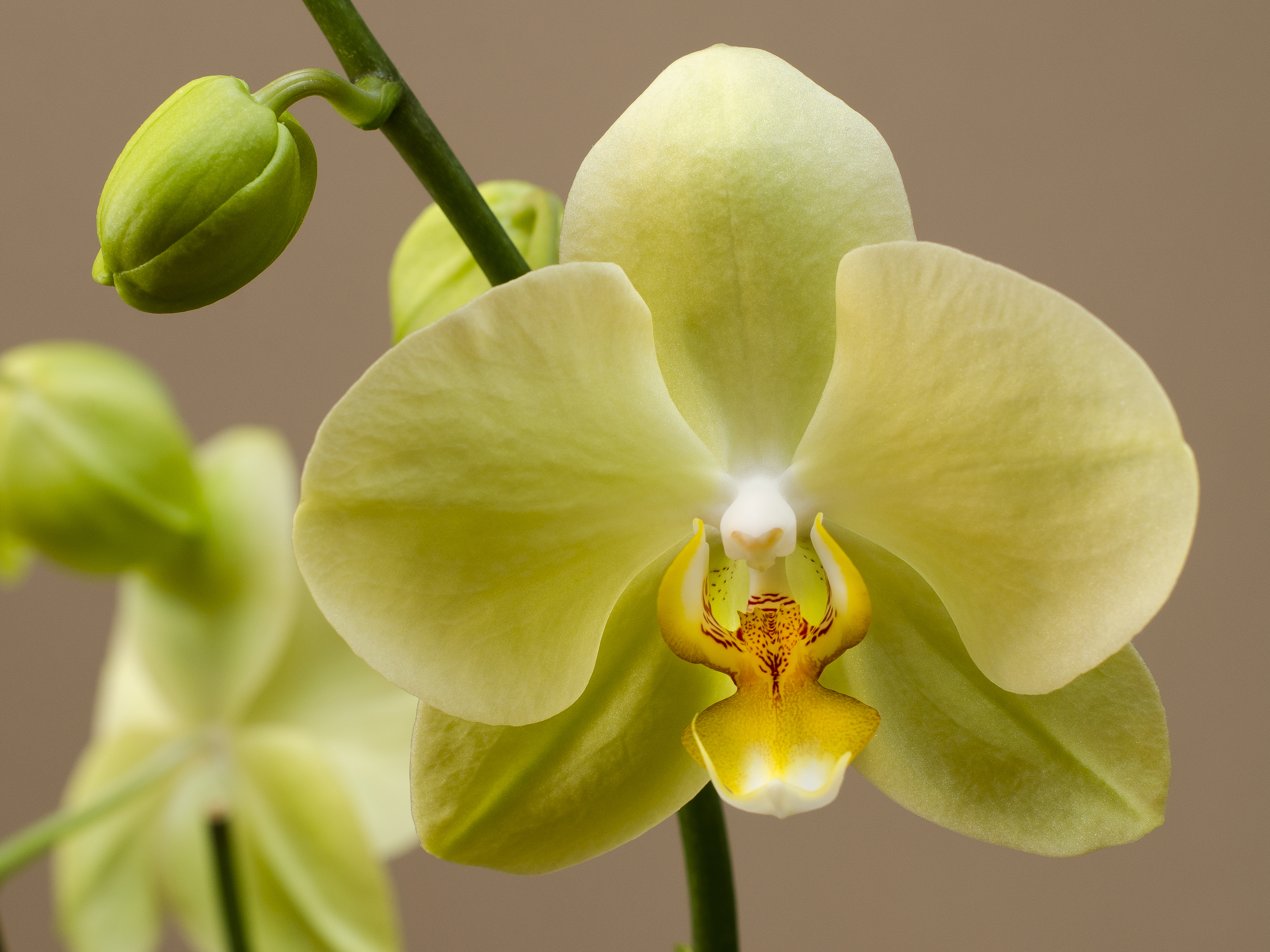 orchid 62