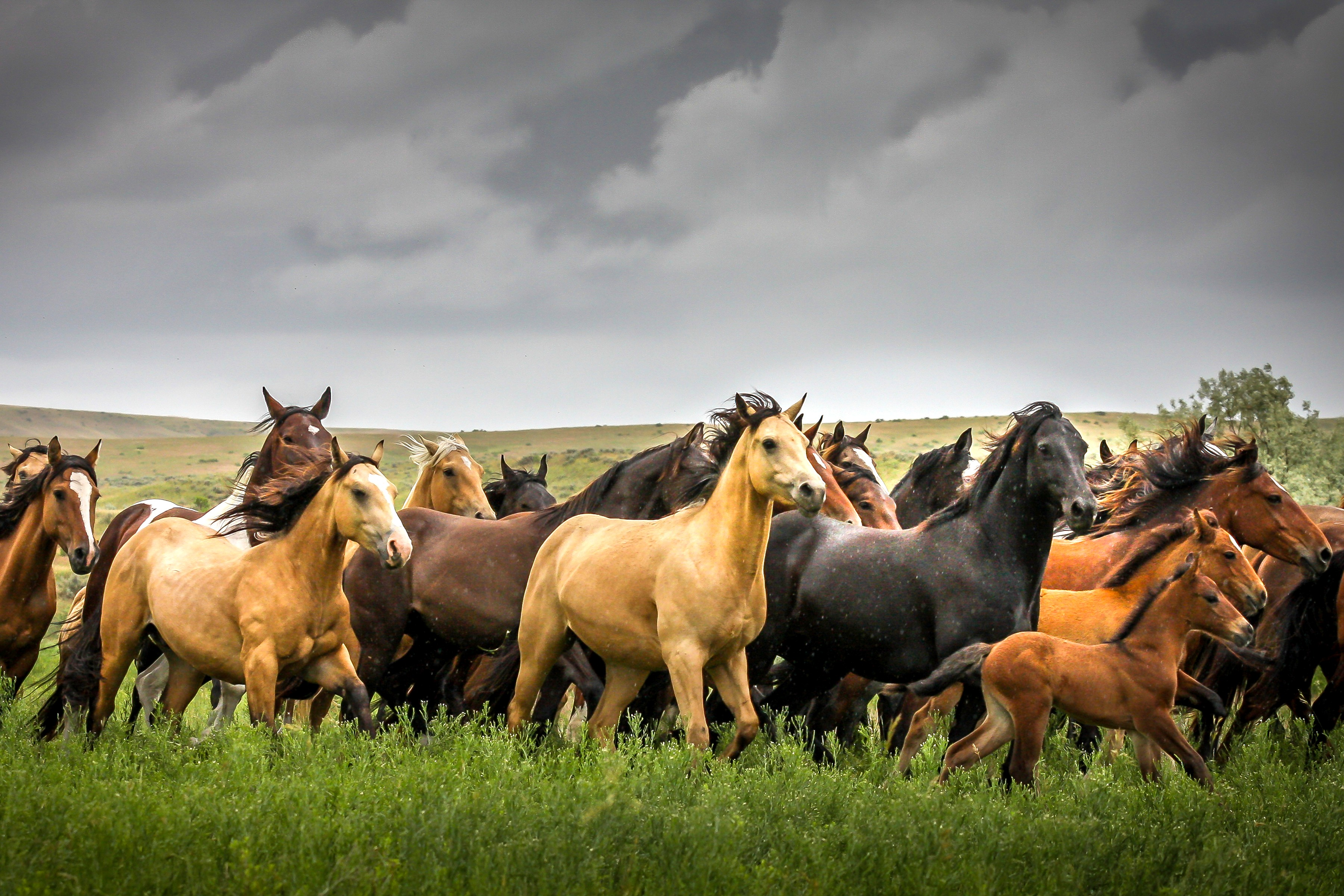 Montana Wild Horses in Rainstorm