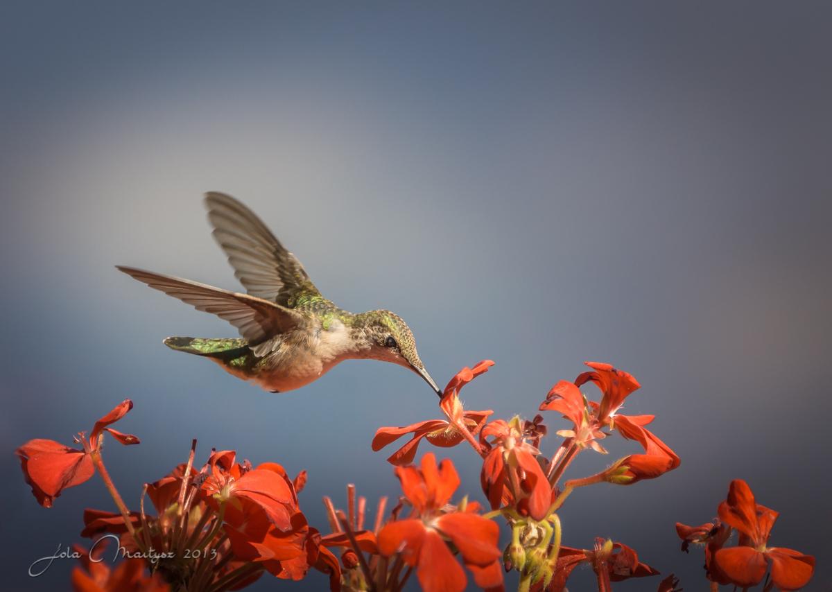 Colibri - My Summer Visitor