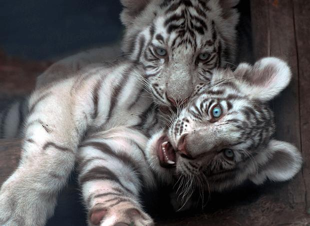 animal-wildlife-photography-white-tigers image