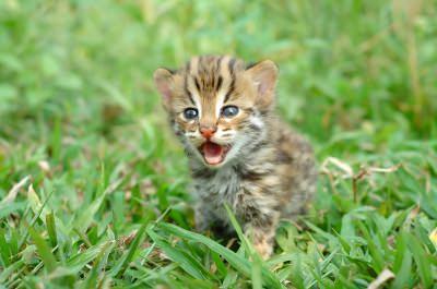 cat-roar image