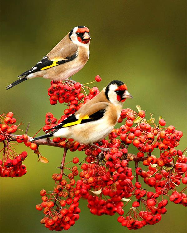 red-bird image